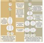 Comparación de la mitosis y la meiosis en una célula con seis cromosomas